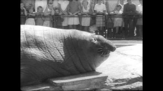 Blind sea elephant climbs out of water at Stuttgart Zoo / huge crowd watches at sea elephant performs tricks / keeper feeds him fish as sea elephant...