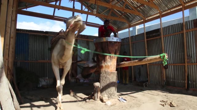vídeos de stock e filmes b-roll de a blindfolded camel walks in circles to operate a traditional sesame oil press at an old oil mill in mogadishu somalia on december 18 2018 interviews... - mill