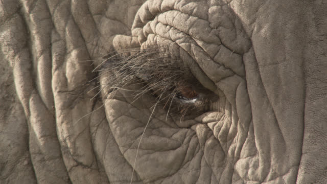 blinking eye of african elephant (loxodonta africana), kenya - elephant stock videos & royalty-free footage