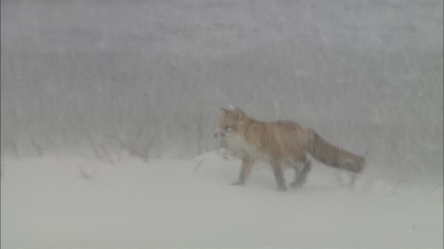 blizzard at sarobestu plain in hokkaido - national park stock videos & royalty-free footage