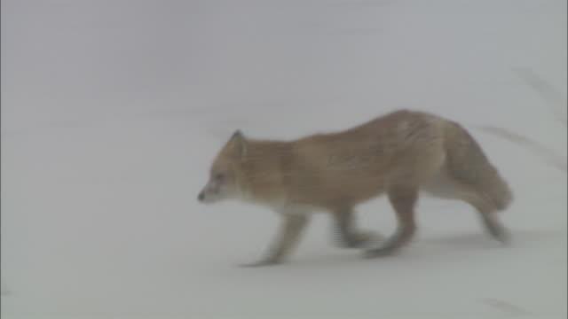 blizzard at sarobestu plain in hokkaido - national park stock videos & royalty-free footage