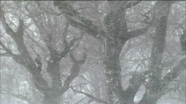 stockvideo's en b-roll-footage met blizzard in forest of beech trees, shirakami mountains, akita, aomori, japan - sneeuwstorm