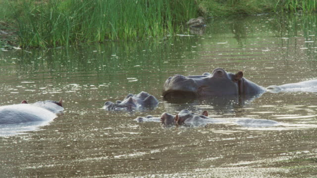 a bloat of common hippopotamus in kruger national park - provinz mpumalanga stock-videos und b-roll-filmmaterial