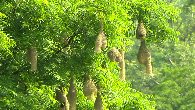 stockvideo's en b-roll-footage met block shot birds nest hanging from tree jim corbett nainital uttarakhand - middelgrote groep dingen