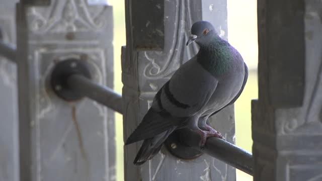 Block Shot Close Pigeon Udaipur Rajasthan India