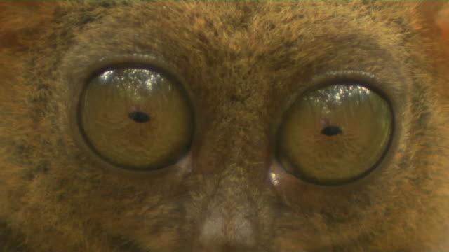 Block shot closeup tarsier eyes Tagbilaran Philippines