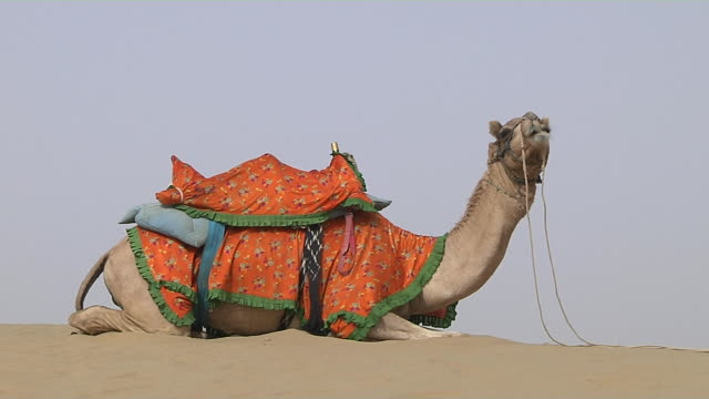 block shot desert camel jaisalmer rajasthan india - 馬勒点の映像素材/bロール