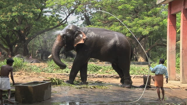 block shot elephant bathing thrissur kerala india - domestic animals stock videos & royalty-free footage