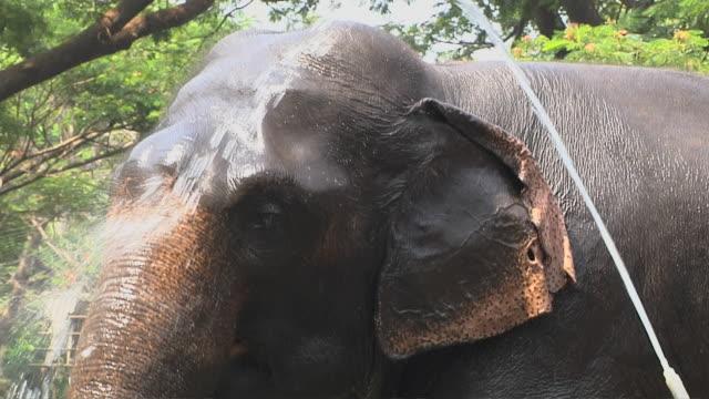 vídeos de stock, filmes e b-roll de block shot elephant bathing thrissur kerala india - animal de trabalho