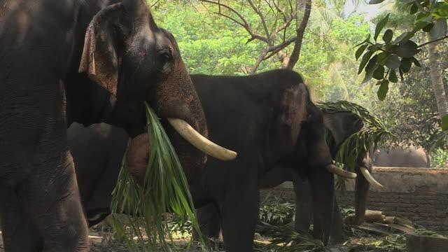 block shot elephant farm thrissur kerala india - arbetsdjur bildbanksvideor och videomaterial från bakom kulisserna