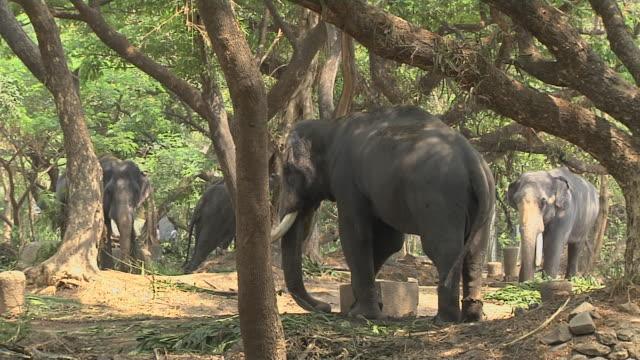 block shot elephant farm thrissur kerala india - herbivorous stock videos & royalty-free footage