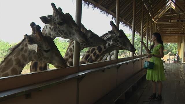 block shot girl feeding giraffes safari world bangkok thailand - füttern stock-videos und b-roll-filmmaterial