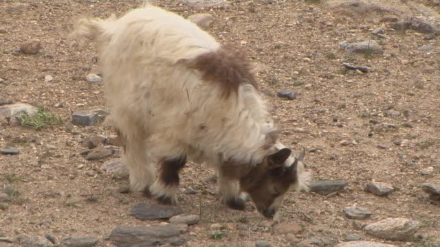 block shot grazing goat on rocky land taklakot tibet china - hooved animal stock videos & royalty-free footage