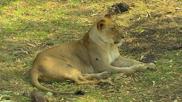 vídeos de stock, filmes e b-roll de block shot lion mauritius - ilhas mascarene