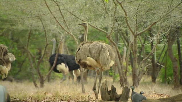 Block Shot Ostrich Mauritius