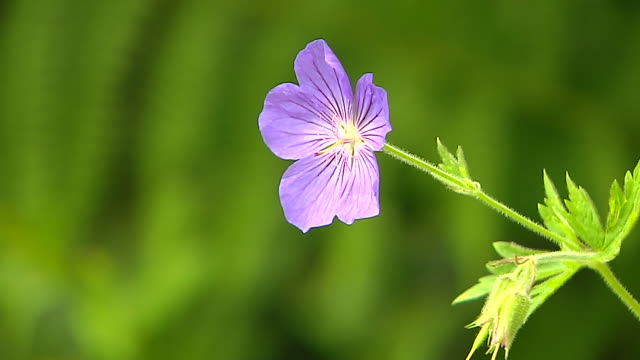 vídeos de stock e filmes b-roll de block shot purple flower valley of flowers uttarakhand - estame