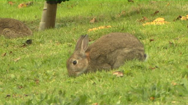 block shot rabbit inverness scotland united kingdom - inverness scotland stock videos & royalty-free footage