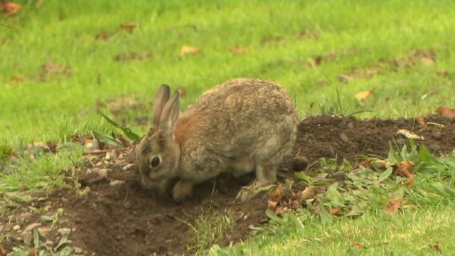 block shot rabbit inverness scotland united kingdom - digging stock videos & royalty-free footage