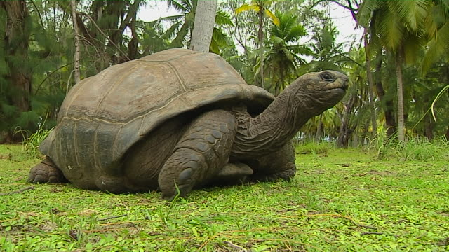 block shot tortoise feeding desroches victoria mahe seychelles - tortoise stock videos & royalty-free footage