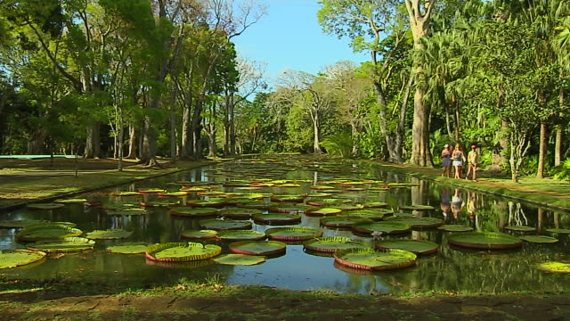 vidéos et rushes de block shot water lily pamplemousse port louis mauritius - jardin classique