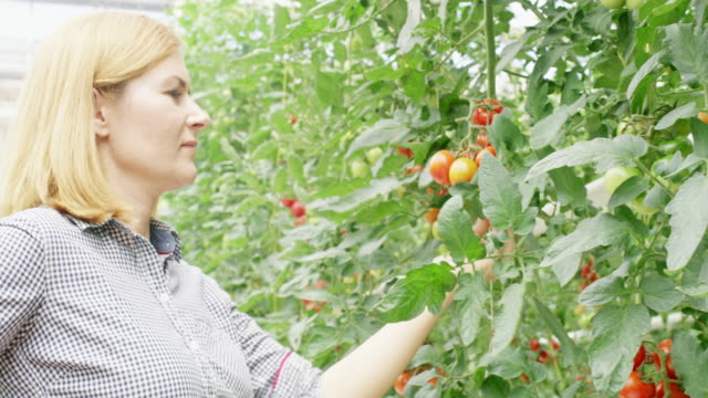MS Blond woman harvesting tomatoes in a greenhouse