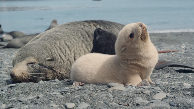 blonde fur seal pup on beach, south georgia - seal pup stock videos and b-roll footage
