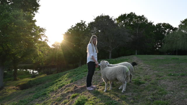blonde woman in early 20s feeding branch leaves to two sheep - west sussex stock videos & royalty-free footage