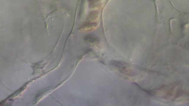 blood cells moving from a main capillary in to two other capillaries of tail of tadpole of toad bufo bufo - vaso sanguigno video stock e b–roll
