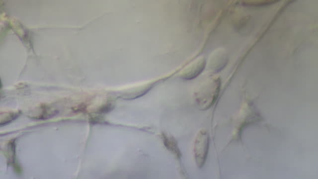 blood cells moving slowly through capillaries of tail of tadpole of toad bufo bufo - capillary body part stock videos & royalty-free footage