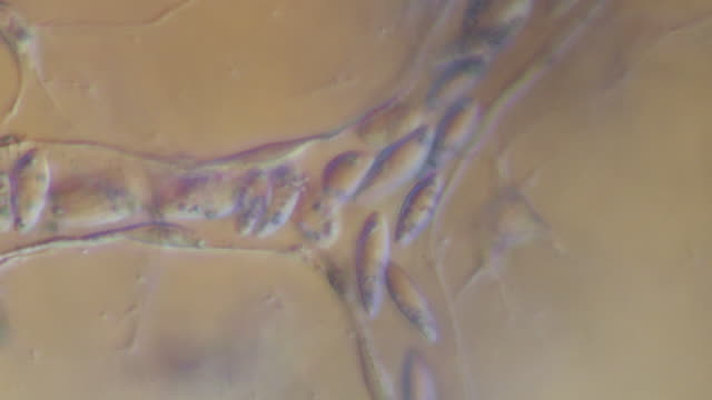 Blood cells moving through capillaries of tail of tadpole of Toad Bufo bufo