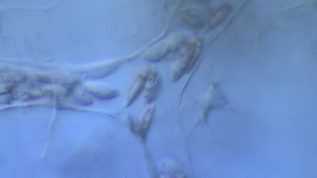 blood cells moving through capillaries of tail of tadpole of toad bufo bufo - 血管点の映像素材/bロール