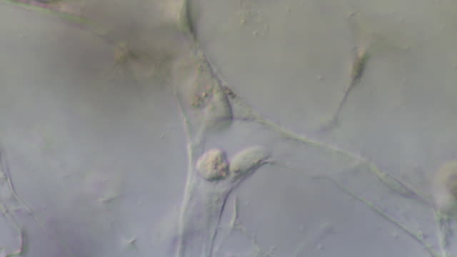blood cells moving through capillaries of tail of tadpole of toad bufo bufo - capillary body part stock videos & royalty-free footage