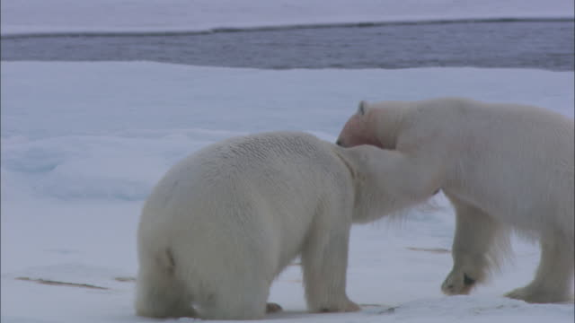 blood covers the faces of two polar bears as they play-fight in the snow. - aggression stock videos & royalty-free footage