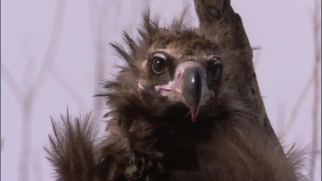 vidéos et rushes de blood drips from beak of european black vulture, russia - vautour moine