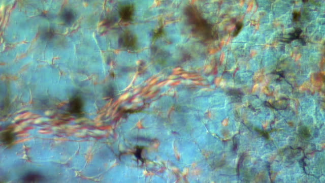 blood flow in tadpole tail - micrografia video stock e b–roll