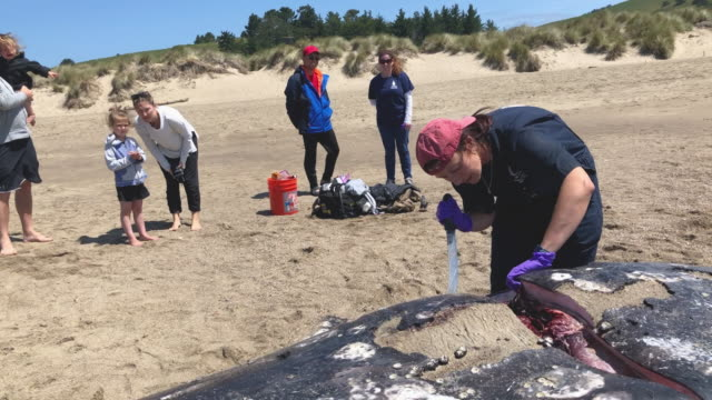 Blood leaks out of a dead juvenile Gray Whale as Barbie Halask necropsy manager with The Marine Mammal Center cuts into the blubber to take a sample...