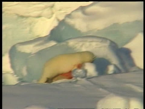 MS blood stained Polar Bear, Ursus maritimus, moving off with dead seal, Arctic Circle