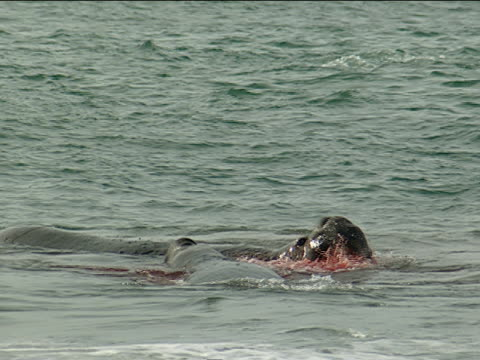 a bloodied elephant seal and its companion await waves in the ocean. - seal animal stock videos & royalty-free footage