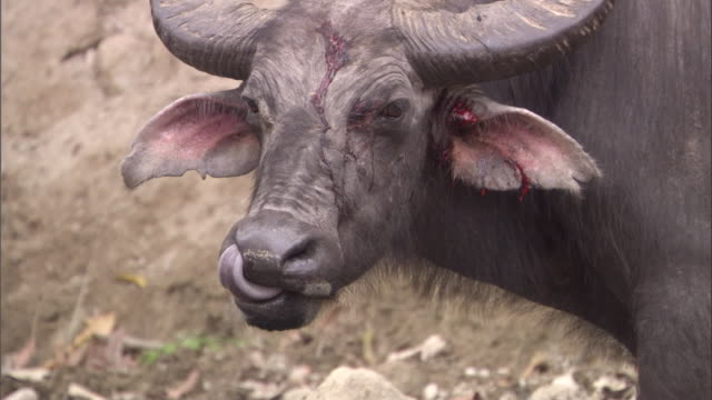 bloodied head of buffalo available in hd. - 怪我点の映像素材/bロール