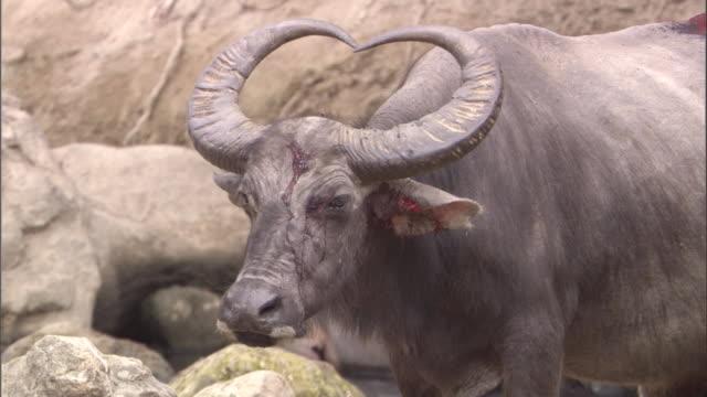 vídeos de stock, filmes e b-roll de bloodied head of buffalo available in hd. - cornudo