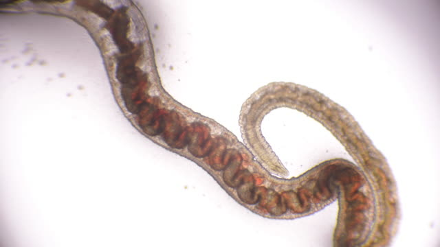 bloodworm under microscope (glycera, annelid) - worm stock videos and b-roll footage