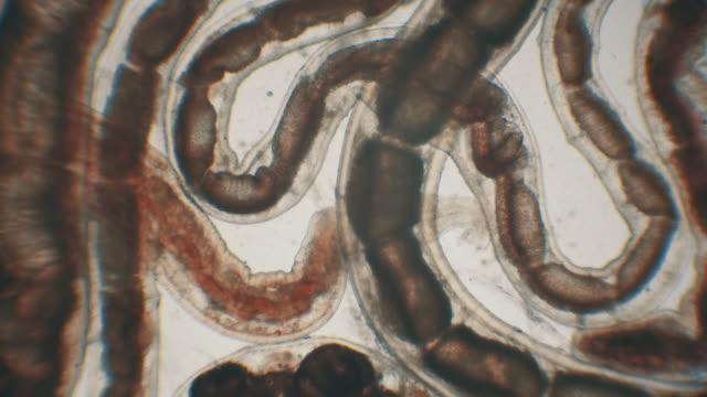 bloodworm under microscope (glycera, annelid) - alien stock videos & royalty-free footage