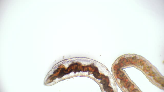 bloodworm under microscope (glycera, annelid) - microbiology stock videos & royalty-free footage