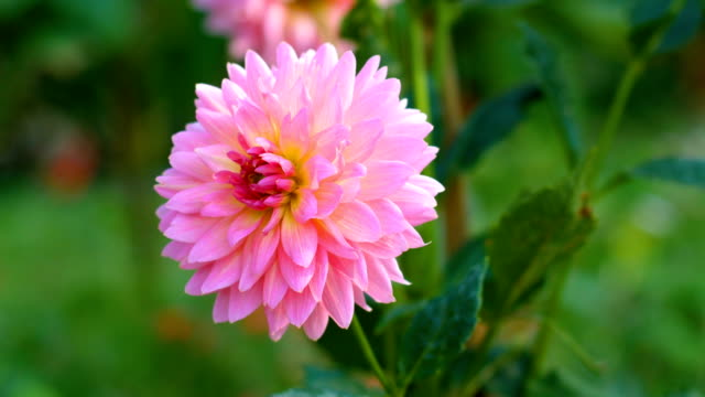 Bloom Pink Dahlia Flower in Field, Dolly shot