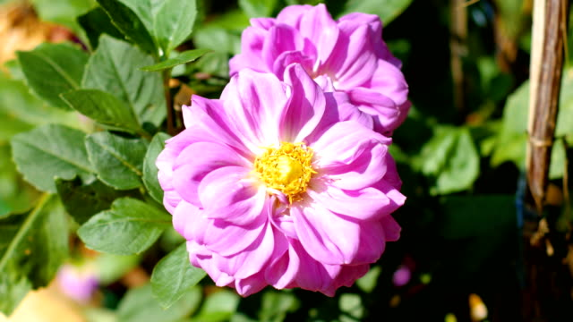 Bloom roze Dahlia bloem in veld