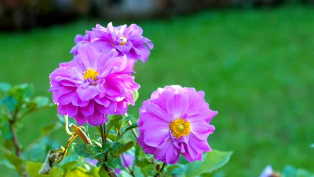 Blüte rosa Blume Feld mit Sonnenlicht, Dolly Schuss