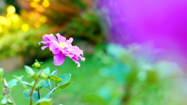 bloom pink flower in field with sunlight, dolly shot - flower head stock videos & royalty-free footage