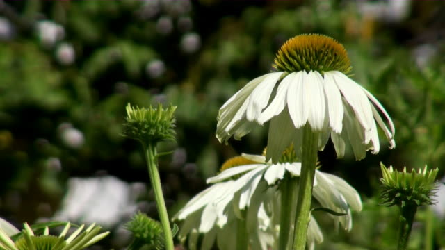 cu bloom white echinacea flower / koblenz, rhineland-palatinate, germany - sonnenhut stock-videos und b-roll-filmmaterial