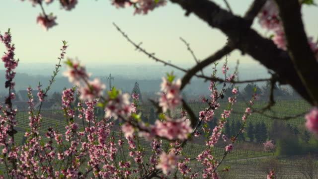 vídeos y material grabado en eventos de stock de blooming almond trees, gimmeldingen, weinstraße, rhineland-palatinate, germany - árbol de hoja caduca
