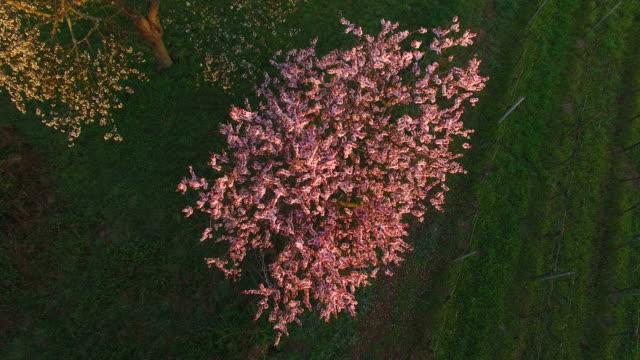 Blooming almond trees in Gimmeldingen, Neustadt an der Weinstraße, Rhineland-Palatinate, Germany